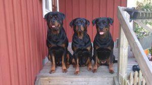 Pippi till hö tillsammans med sin mamma och bror